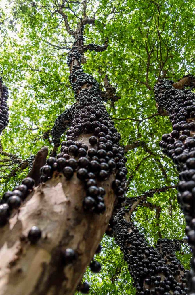 Jabuticaba tree — source: Wikimedia, bruno.karklis